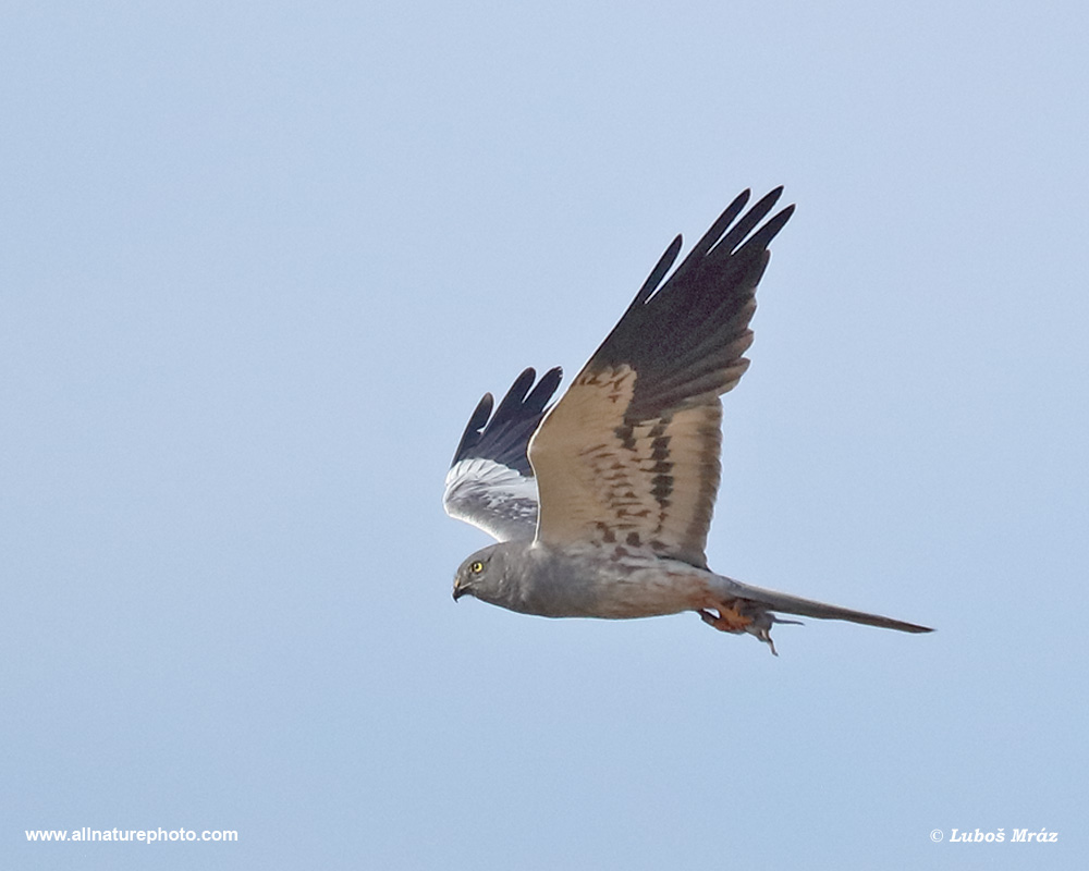 MONTAGU´S HARRIER