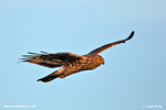 HEN HARRIER (3xphoto)